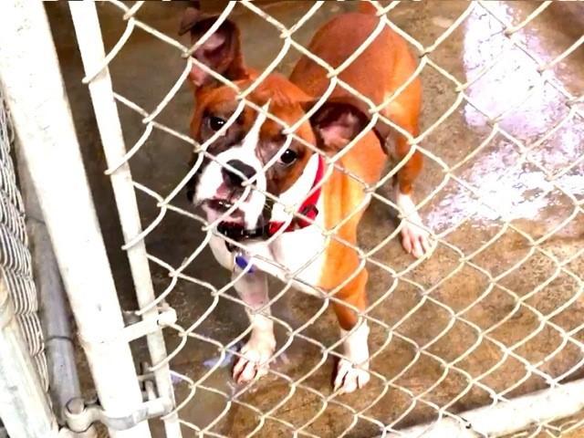 Boxer Rescue Los Angeles Kilowatt